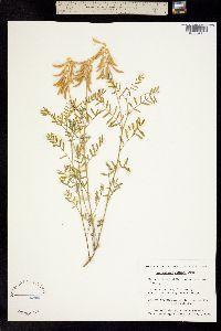 Image of Astragalus collinus