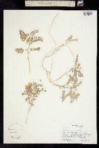 Image of Astragalus camptopus