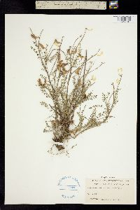 Astragalus distortus image