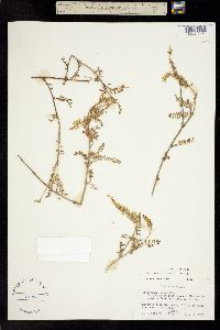 Image of Astragalus daleae