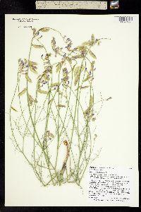 Image of Astragalus episcopus