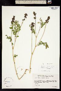 Astragalus eucosmus image