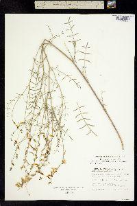 Astragalus filipes image