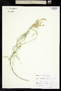 Image of Astragalus filipes