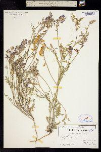 Astragalus flexuosus image