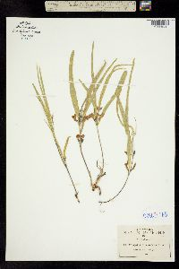 Cologania procumbens image
