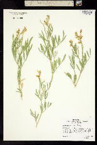 Image of Astragalus grayi
