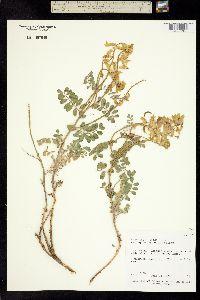 Image of Astragalus gibbsii