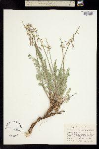 Image of Astragalus howellii