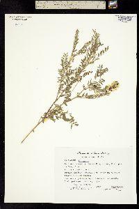 Astragalus hartwegii image