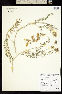 Astragalus harbisonii image
