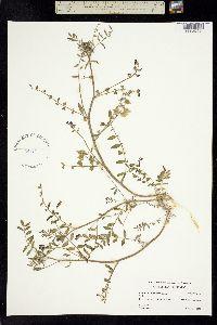 Astragalus insularis image
