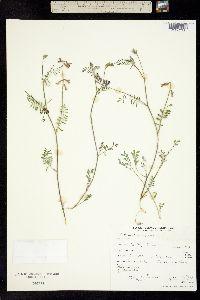 Image of Astragalus inyoensis