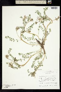 Image of Astragalus iodanthus