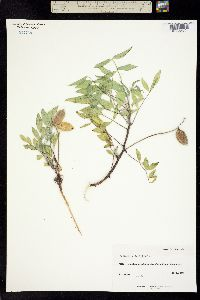 Image of Astragalus iselyi