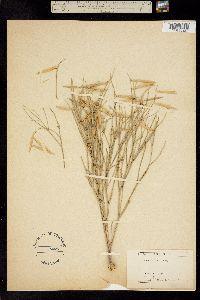 Astragalus junceus image