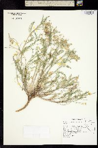 Astragalus johannis-howellii image