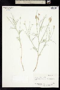 Image of Astragalus lancearius