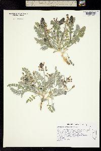 Image of Astragalus layneae