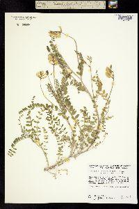 Image of Astragalus leucopsis