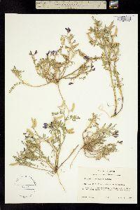Image of Astragalus lindheimeri
