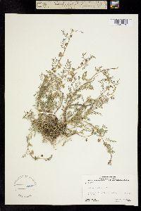Image of Astragalus lemmonii