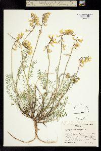 Image of Astragalus laurentii
