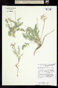 Image of Astragalus leucolobus