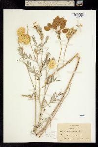 Astragalus leucophyllus image