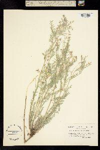 Astragalus lyallii image
