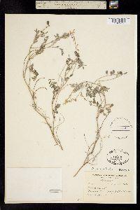 Image of Astragalus microcystis