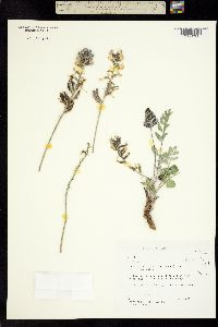 Image of Astragalus minthorniae