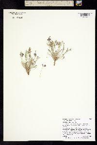 Astragalus monumentalis image