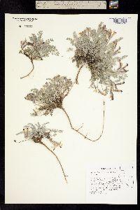Image of Astragalus marianus