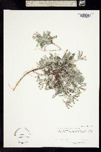 Astragalus marianus image