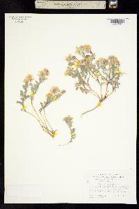 Image of Astragalus monoensis