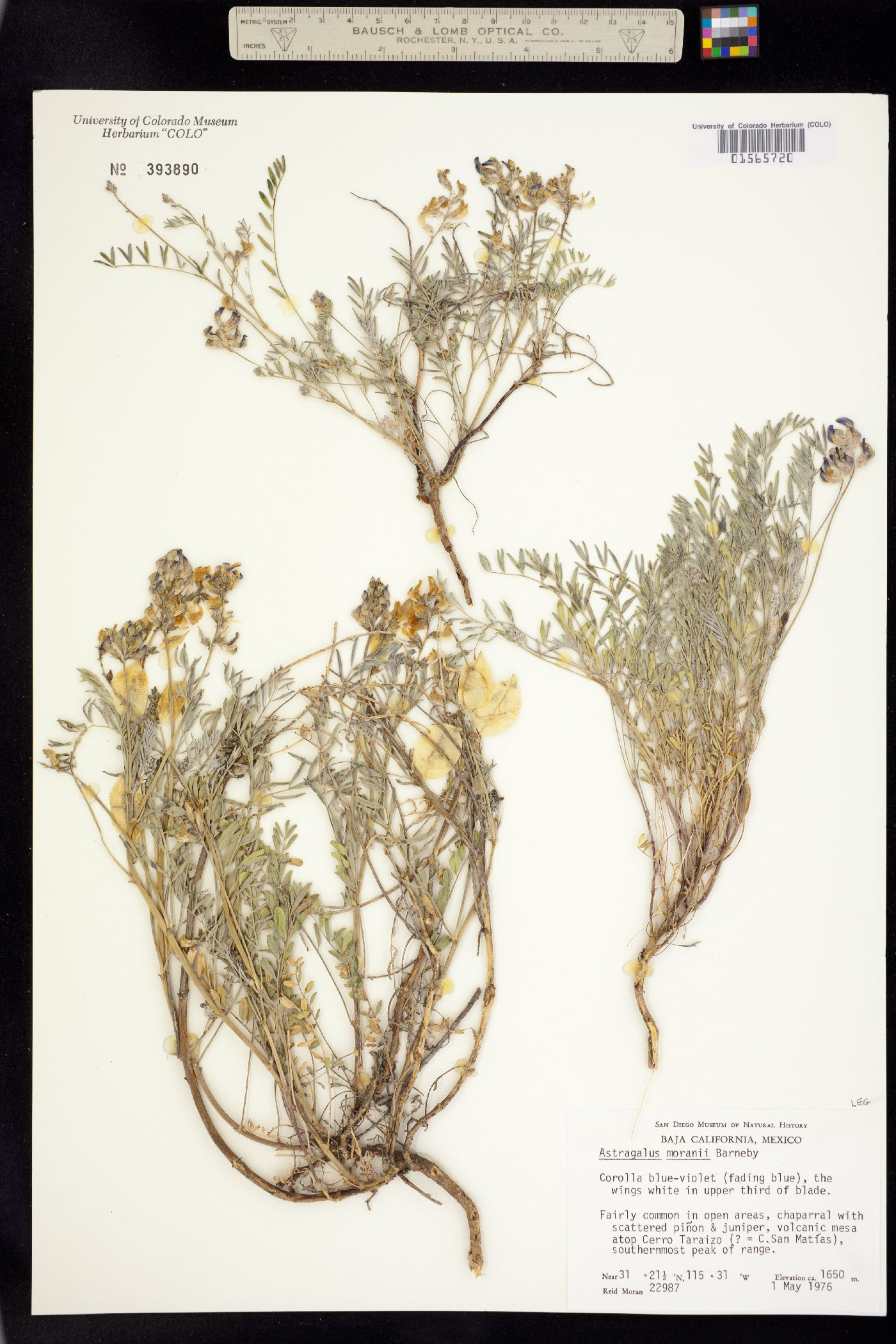 Astragalus moranii image