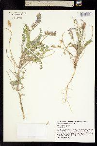 Image of Astragalus neomexicanus