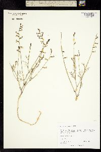 Image of Astragalus nidularius