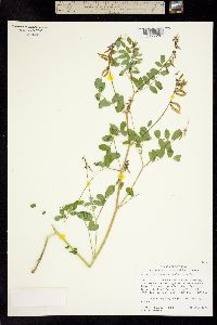 Astragalus paysonii image