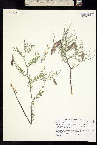 Astragalus pinonis image