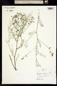 Image of Astragalus pinonis