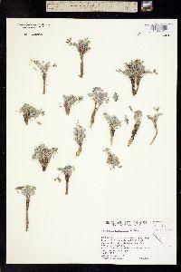 Image of Astragalus platytropis