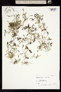 Image of Astragalus polaris