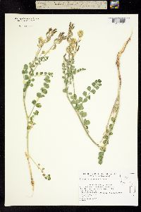 Image of Astragalus porrectus