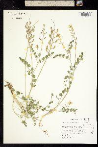 Astragalus porrectus image