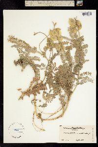 Image of Astragalus nuttallii