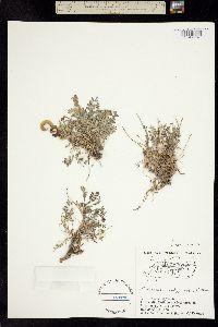 Image of Astragalus nutzotinensis
