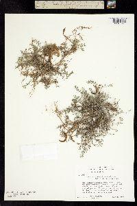 Astragalus nutzotinensis image