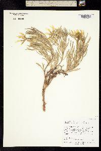 Image of Astragalus nelsonianus